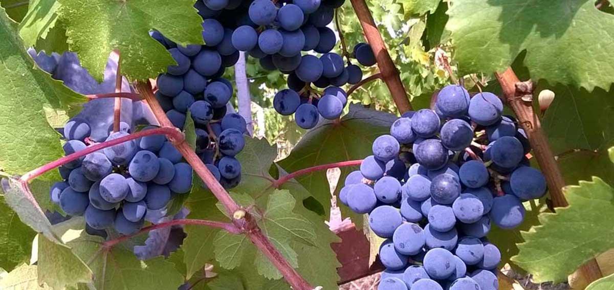 uva pronta per la raccolta
