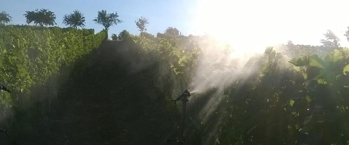 coltivo la vigna in agricoltura biodinamica
